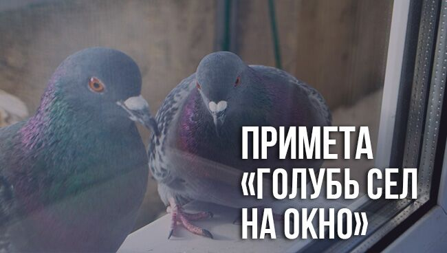 примета «голубь сел на окно»
