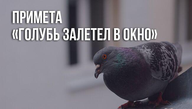 примета «голубь залетел в окно»