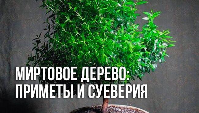 приметы и суеверия о миртовом дереве