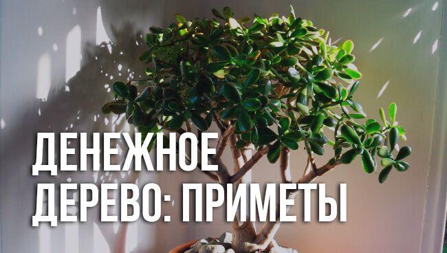 Примет и суеверий про денежное дерево