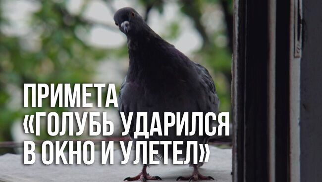 примета «голубь ударился в окно и улетел»