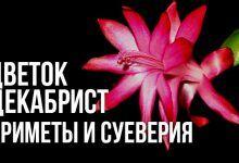 приметы и суеверия о цветке декабристе