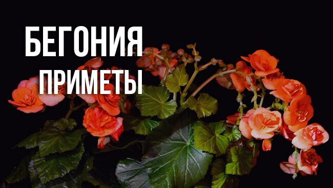 цветок бегония наделили приметами и суевериями