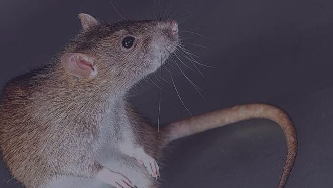 К чему снятся крысы во сне женщине