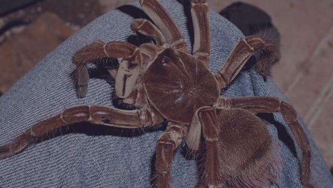 К чему снятся большие пауки