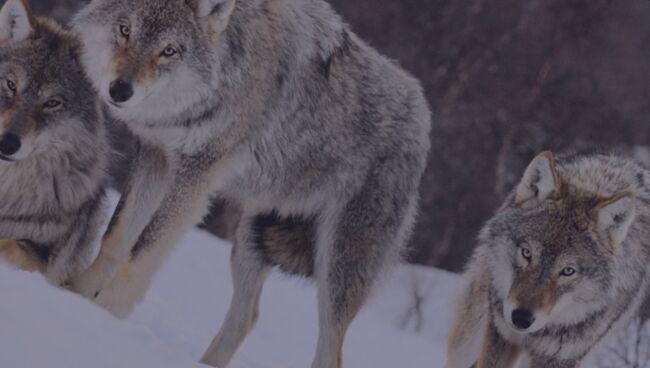 Видеть во сне волка что означает