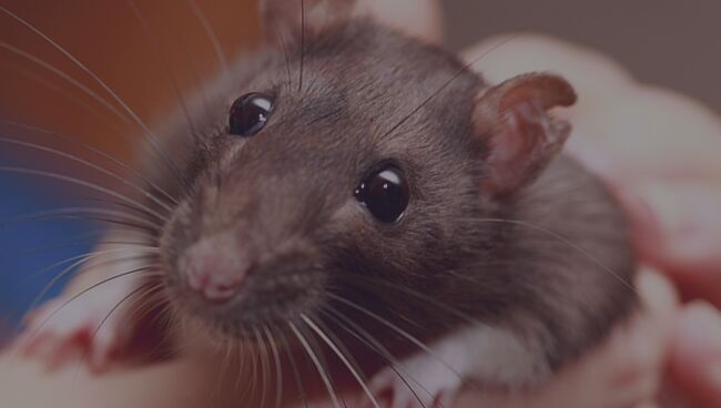 Сонник: к чему снится крыса