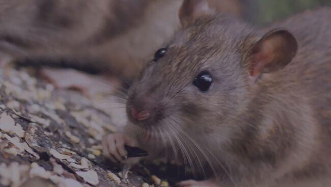 Что означает видеть во сне крысу