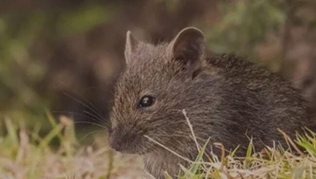 Видеть во сне мышей что означает