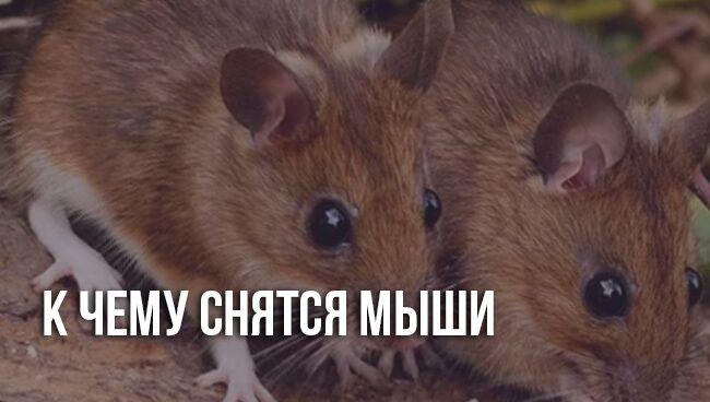 Мыши во сне к чему снятся женщине