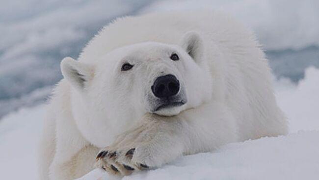 Сонник: белый медведь