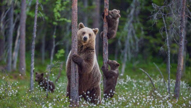 Приснился бурый медведь