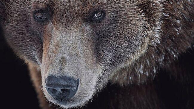 Увидеть во сне медведя бурого