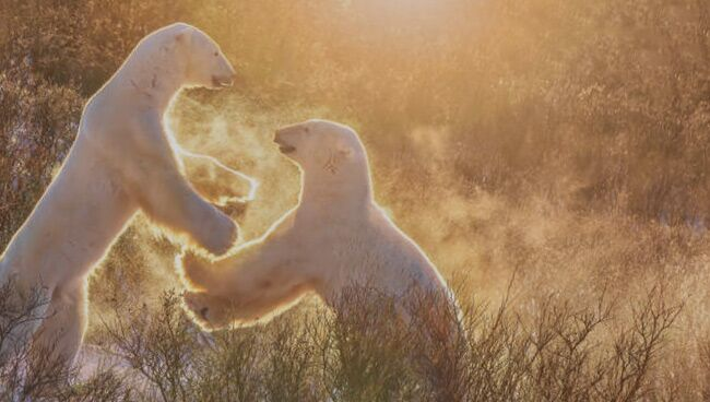 Приснился белый медведь