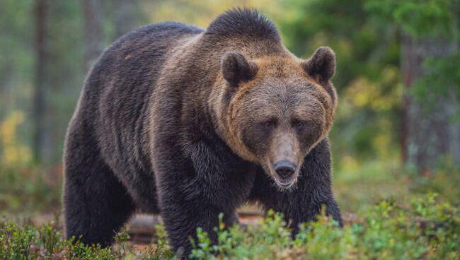 Сонник медведь бурый