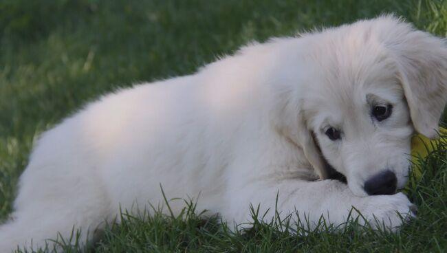 Видеть во сне белую собаку