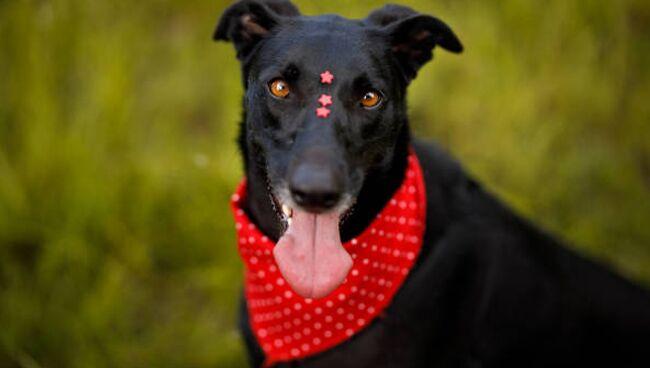 Cонник чёрная собака
