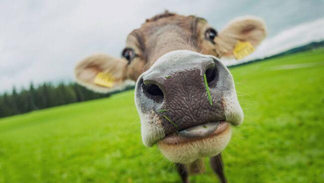 Сонник корова во сне видеть