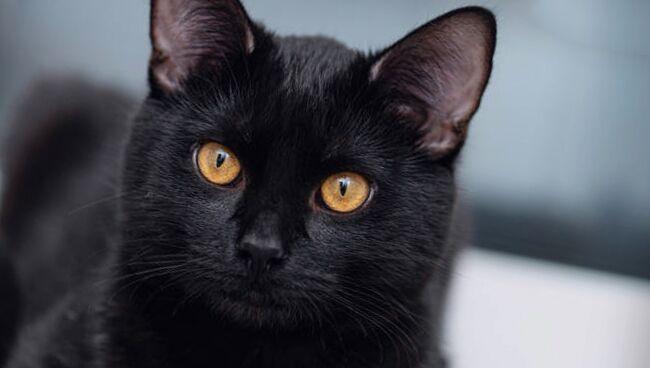 Сонник: чёрный кот