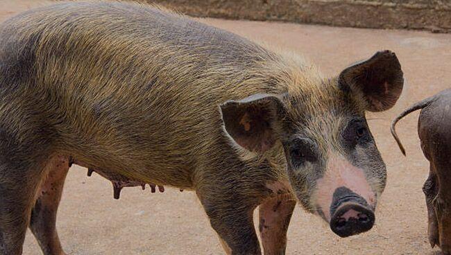 Видеть во сне свинью