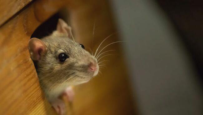 увидеть во сне мертвую крысу