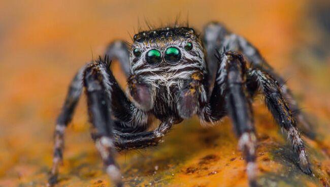 Видеть во сне паука большого черного