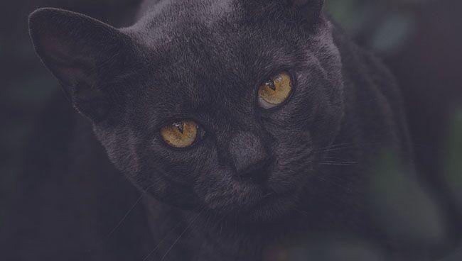 Приснилась черная кошка